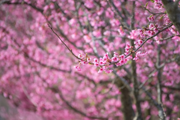 Árboles de flor rosa en flor