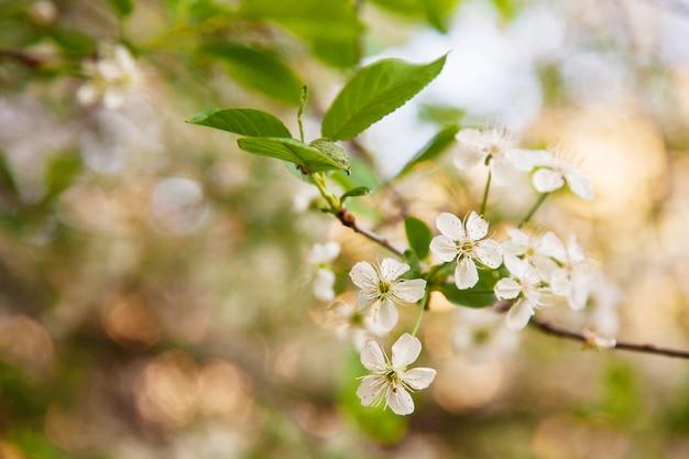 Árboles con flores blancas, flores de cerezo