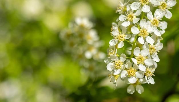 Árboles con flores de primavera, pétalos de cerca en el fondo de la naturaleza