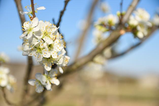 Los árboles frutales florecen en primavera sobre un fondo de cielo azul y otros árboles en flor. de cerca .