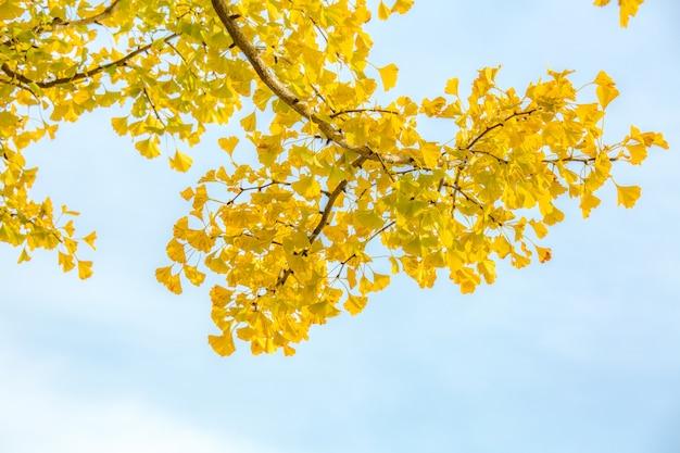 árboles de ginkgo otoño