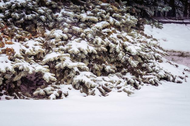 Árboles de hoja perenne en invierno