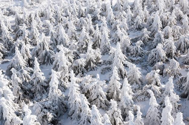 Árboles de invierno en montañas cubiertas de nieve fresca