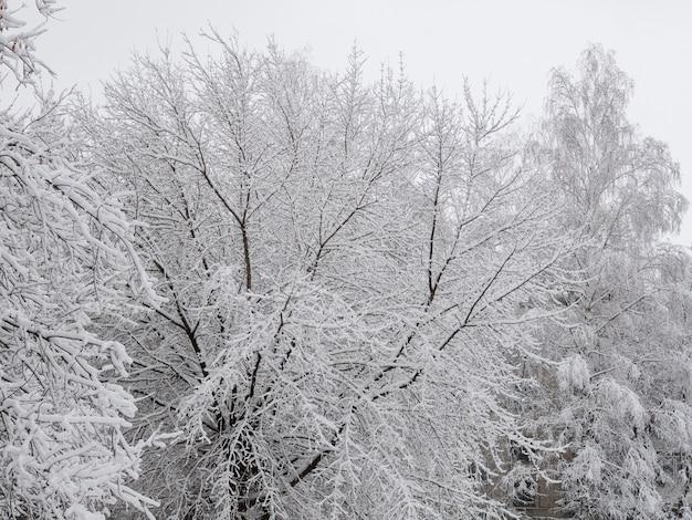 Árboles de invierno de nieve