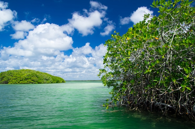 Árboles de mangle