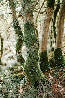 Árboles en moss en el bosque.