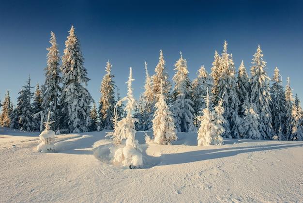 Árboles de navidad cubiertos de nieve en invierno. paisaje fabuloso