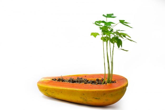 Árboles de papaya jóvenes que crecen hasta la mitad.