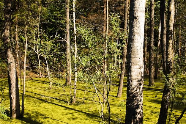 Árboles que crecen en el pantano en la temporada de primavera.