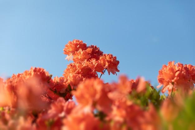 Imagenes De Azalea Arbusto Vectores Fotos De Stock Y Psd Gratuitos