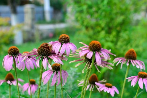 Arbusto de equinácea de flores rosadas