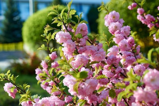 El arbusto florece con flores rosas en primavera.