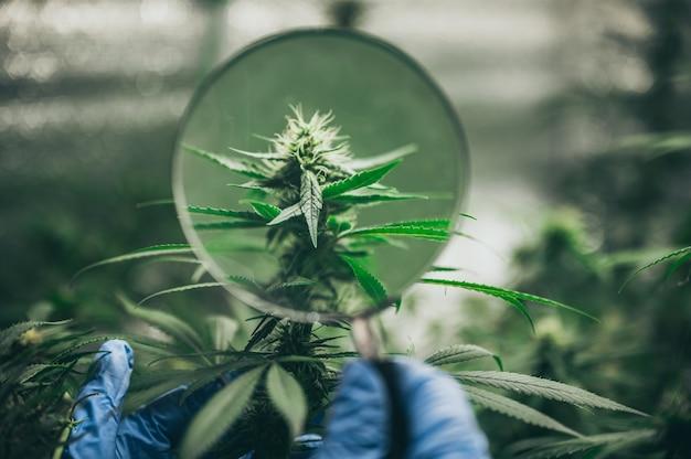 Arbusto de flores de cáñamo con semillas y flores. concepto de mejoramiento de marihuana, cannabis, legalización.