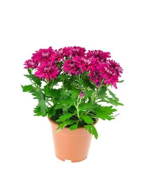 Arbusto hermoso del crisantemo rosado en pote en el fondo blanco.