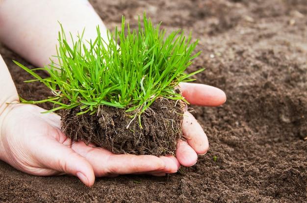 Arbusto de hierba en manos de mujer