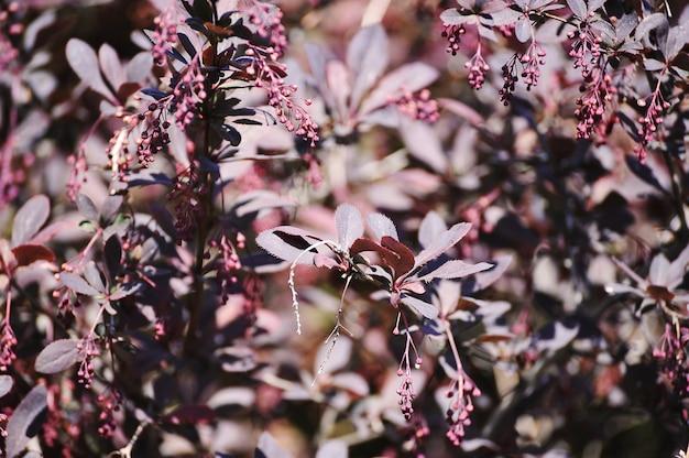 Arbusto con hojas de color púrpura - fondo abstracto
