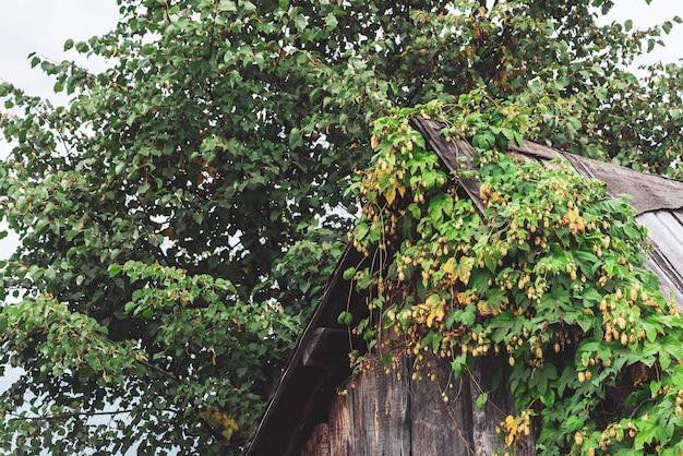 Arbustos de lúpulo sobre techo de casa rústica de madera.