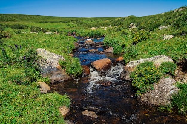Los arbustos de té kuril crecen cerca del arroyo de montaña en el valle verde. rica vegetación entre rocas cerca del arroyo. planta curativa en montaña debajo del cielo azul. flores amarillas medicinales. paisaje vívido
