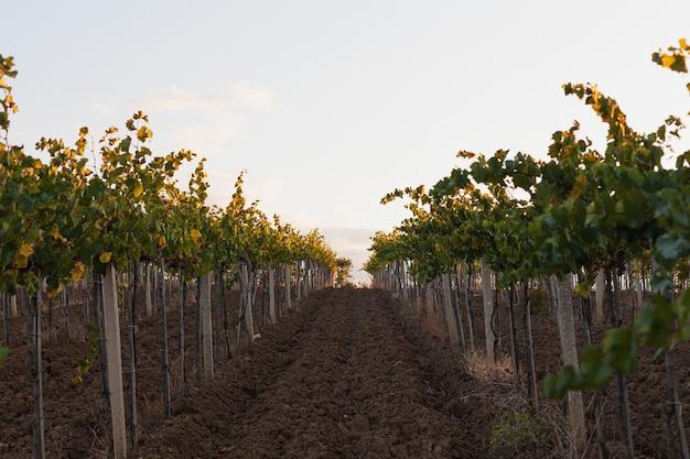 Los arbustos de uva crecen en viñedos