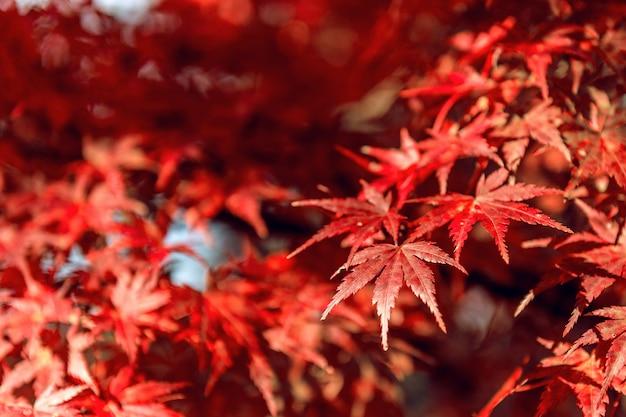 Arce rojo en otoño.
