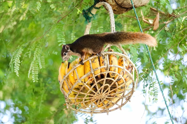 Ardilla en el árbol tratando de comer plátanos y frutas en la cesta