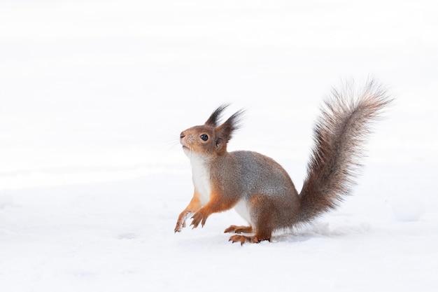 Ardilla nieve invierno