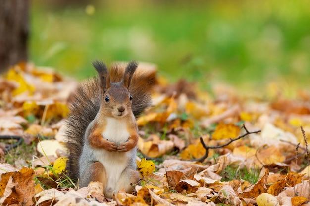 Ardilla en el parque otoño