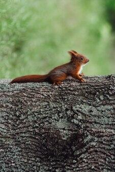 Una ardilla peluda roja se sienta en el tronco de un árbol marrón