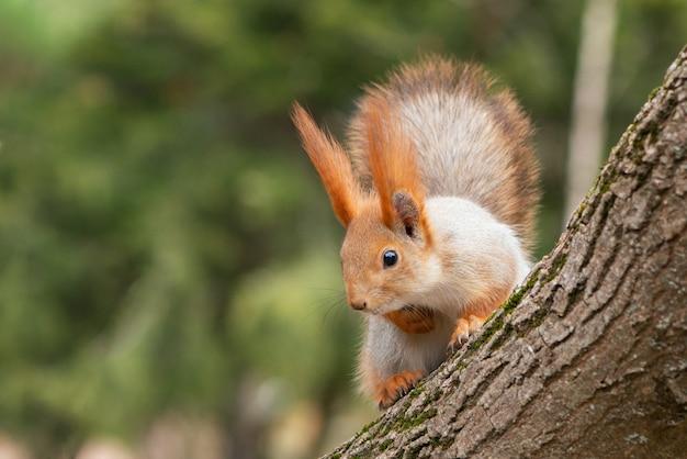 Una ardilla roja se sienta en un árbol y mira hacia abajo. sciurus vulgaris.