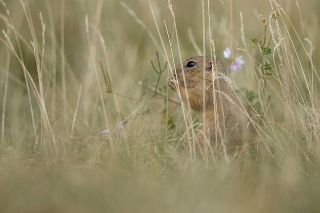 Ardilla de tierra común en pradera floreciente europea suslik spermophilus citellus