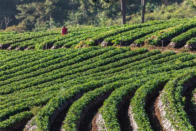 Área agrícola de las tierras de labrantío de la fresa en doi chiang mai tailandia