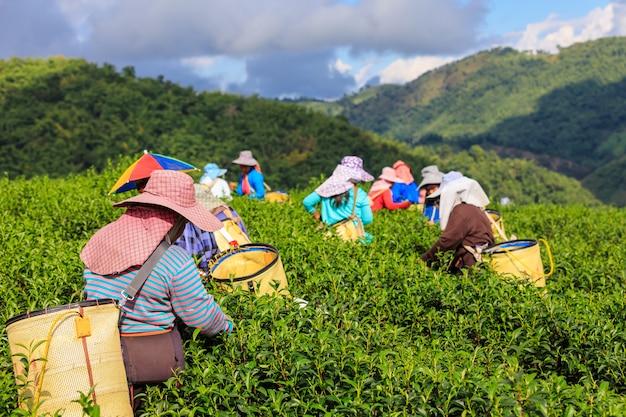 Área y granjero agrícolas del té verde en el rai tailandia de doi chaing