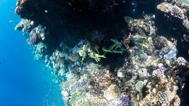 Arrecife de coral en el mar rojo, egipto. paisaje submarino con peces y arrecifes.