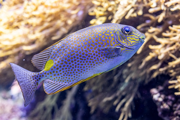 Arrecife de coral con pez conejo siganus guttatus o espina dorsal manchada de naranja
