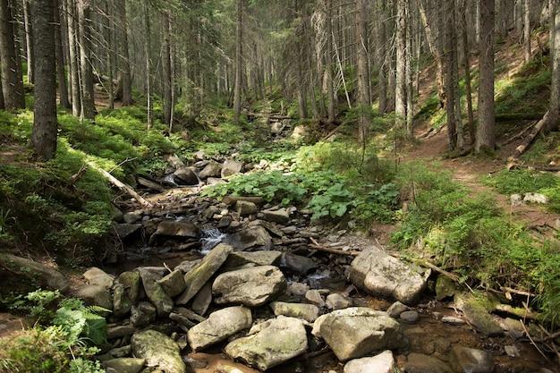 Arroyo de montaña en el bosque de abetos verdes. hora de verano