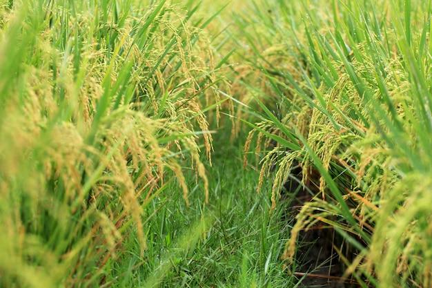 El arroz amarillento está listo para la cosecha.