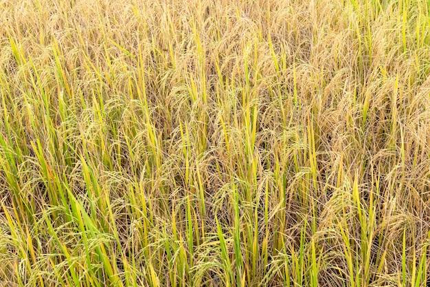 Arroz de arroz en campo en la estación de lluvias.