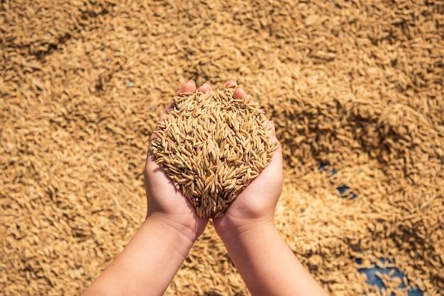 Arroz en la cosecha, el arroz amarillo dorado en la mano, granjero llevando el arroz en la mano, arroz.