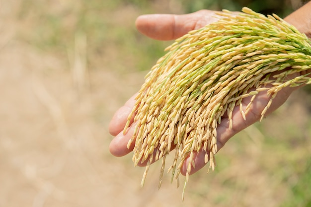 Arroz dorado, hermoso en manos de los agricultores.