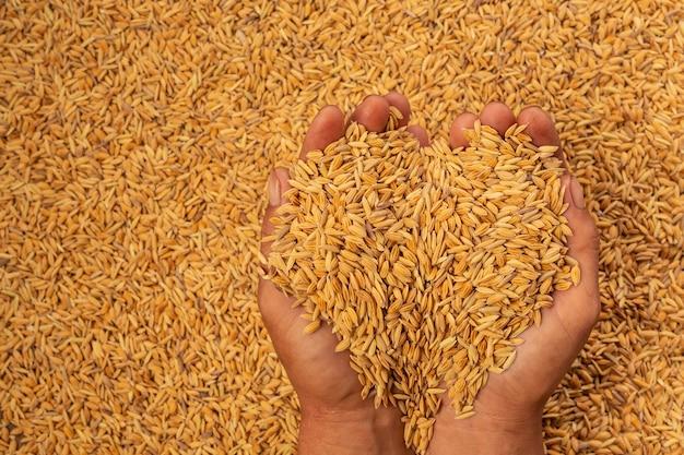 Arroz en manos de hombres con arroz.