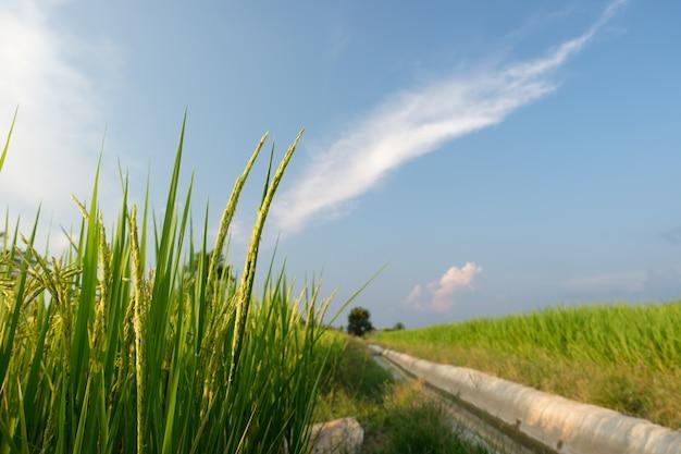 Arroz que crece en los arrozales