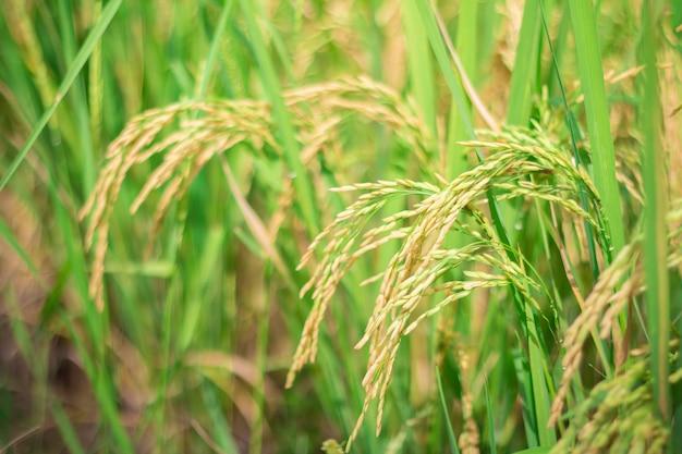 Arroz verde en el campo agrícola cultivado etapa temprana del desarrollo de la planta de cultivo