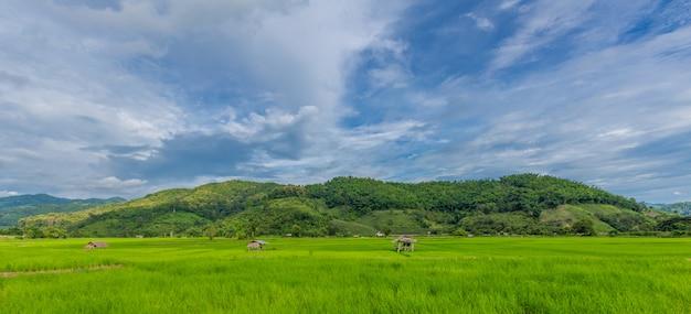 Arroz verde en el campo