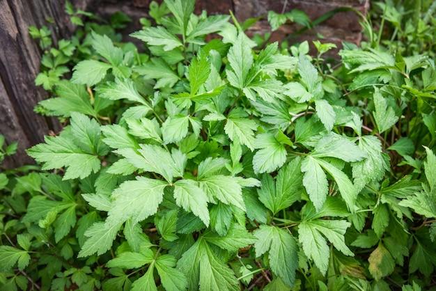 La artemisa blanca deja el verde para la naturaleza vegetal de la comida de la hierba en el jardín