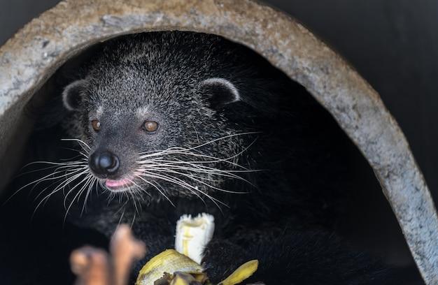 Asian palm civet: producto del café luwak