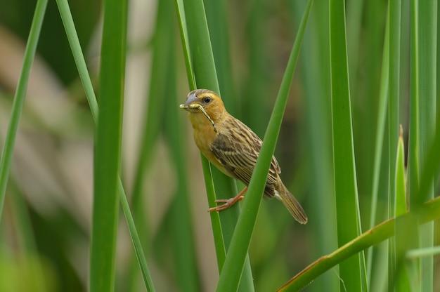 Asiático golden-weaver, hembra