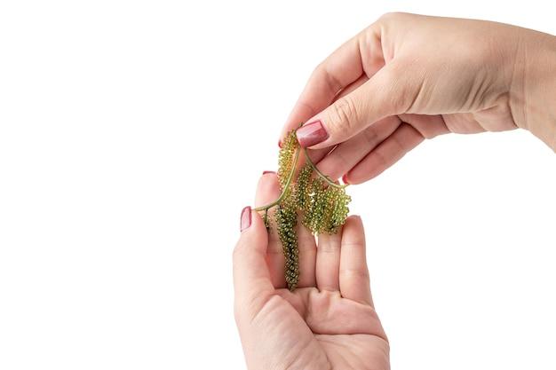 Asimiento de la mano de uvas de mar o caviar verde aislado sobre un fondo blanco, es una planta acuática comestible
