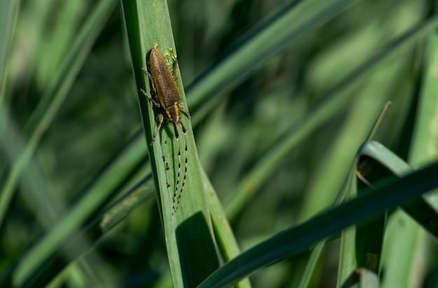 Asphodel escarabajo de cuernos largos, agapanthia asphodeli, descansando sobre una hoja.