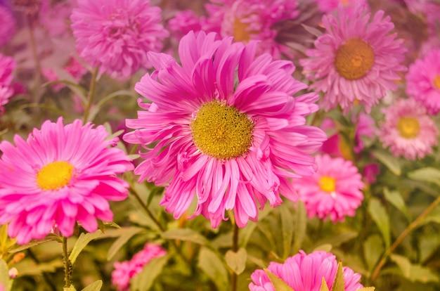 Aster rosa sobre un fondo verde