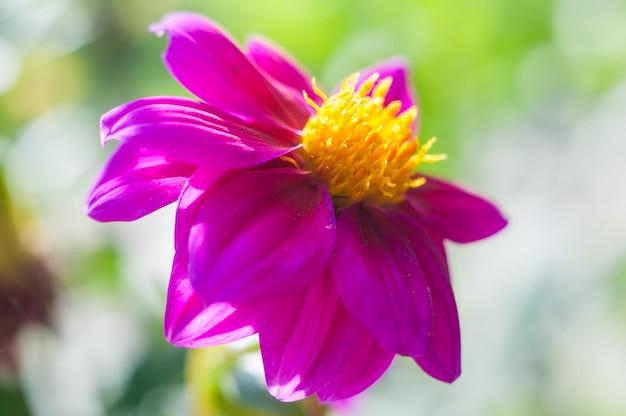 Asters flor de otoño. flor roja violeta